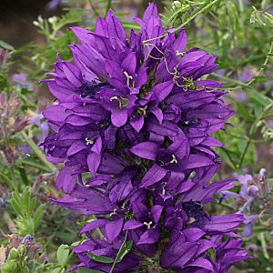 trachtpflanzen campanulaceae glockenblumengew chse. Black Bedroom Furniture Sets. Home Design Ideas