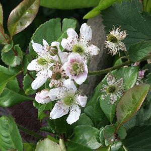 trachtpflanzen rosaceae rosengew chse. Black Bedroom Furniture Sets. Home Design Ideas