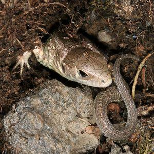 Tier Und Natur Reptilien Eidechsen Zauneideche Lacerta Agilis