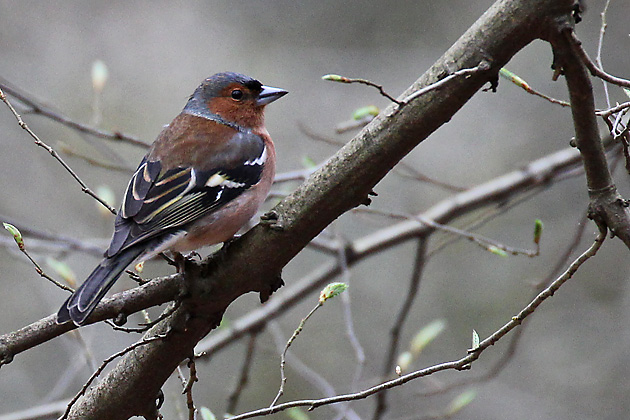 Vogelarten Finkenvögel Fringillidae